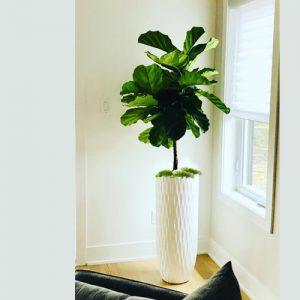 Le Ficus Lyrata sur tige